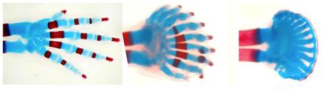 A medida que se reduce la cantidad de los genes Hox, aumenta la separación entre los dedos disminuye su grosor